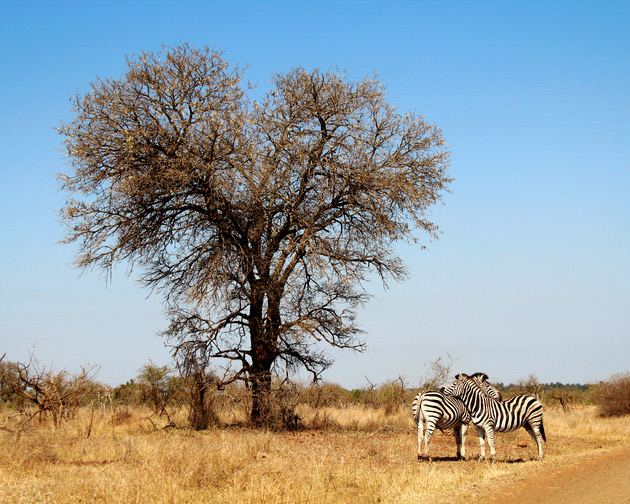 Landscape photography: Savannah landscape and two zebras